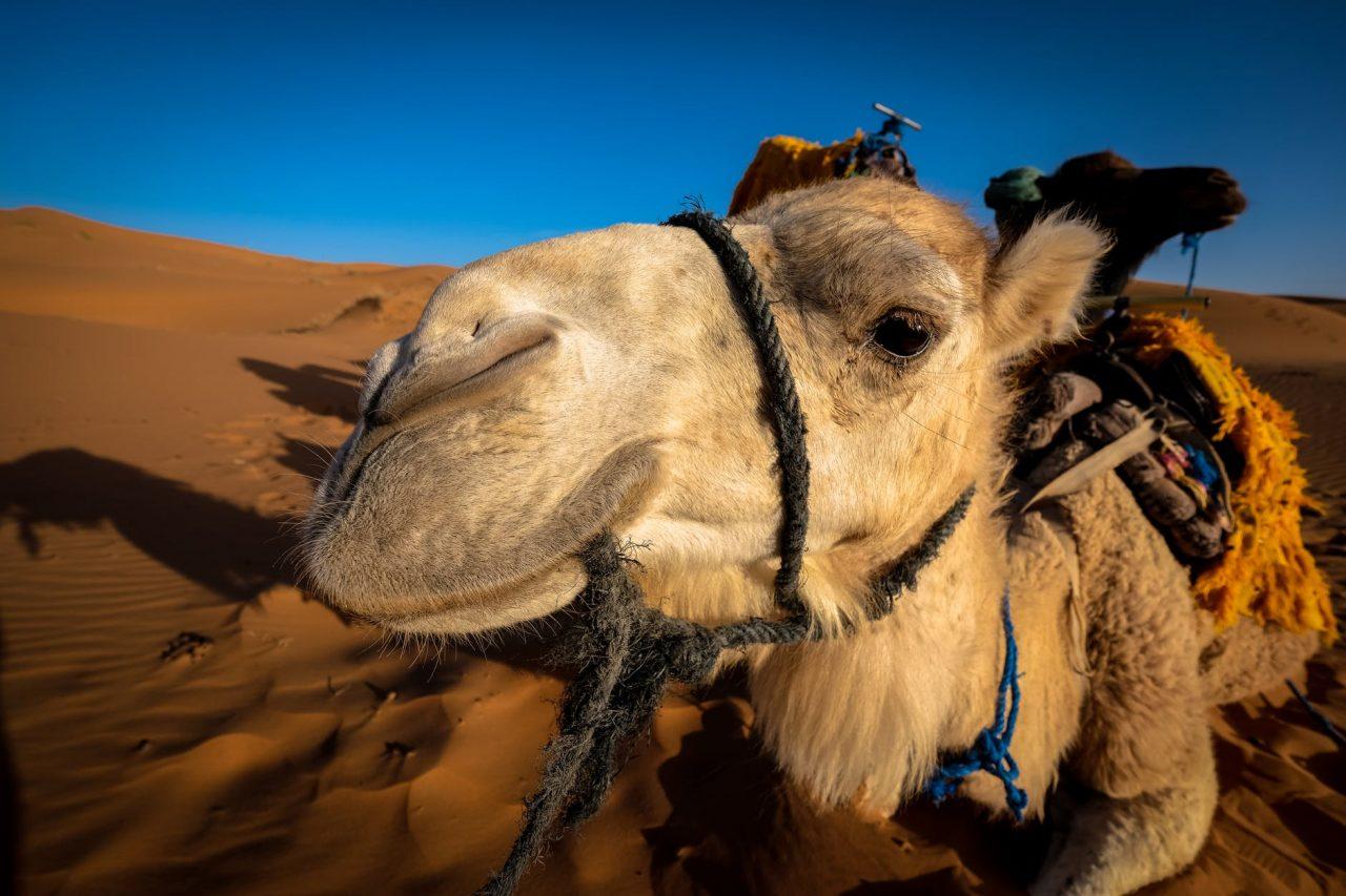 Por problemas de sequía, serán sacrificados 10,000 camellos en Australia