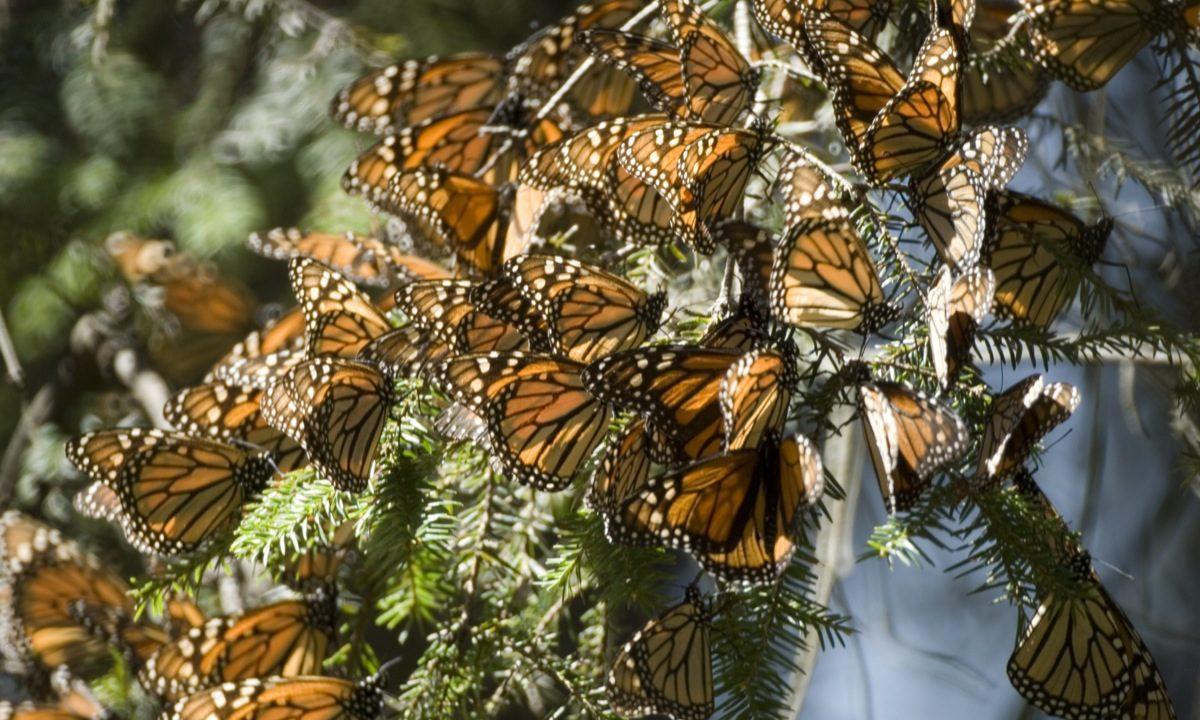 Tres santuarios de la mariposa Monarca en Michoacán que debes visitar