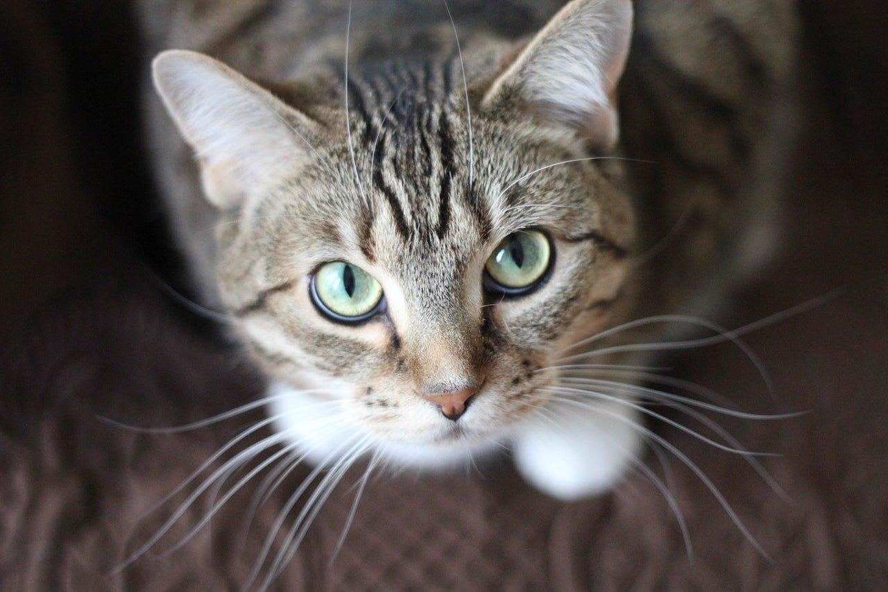 'Romeo', el primer gato con marcapasos en Colombia