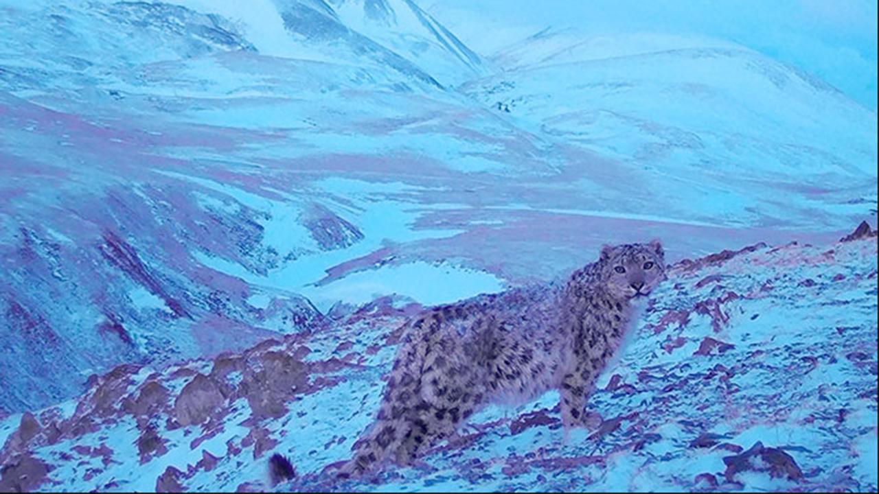 Raro leopardo de Siberia es fotografiado en las montañas