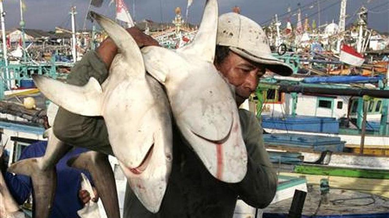 Incautan 635 kilos de aletas de tiburón en el puerto de Miami