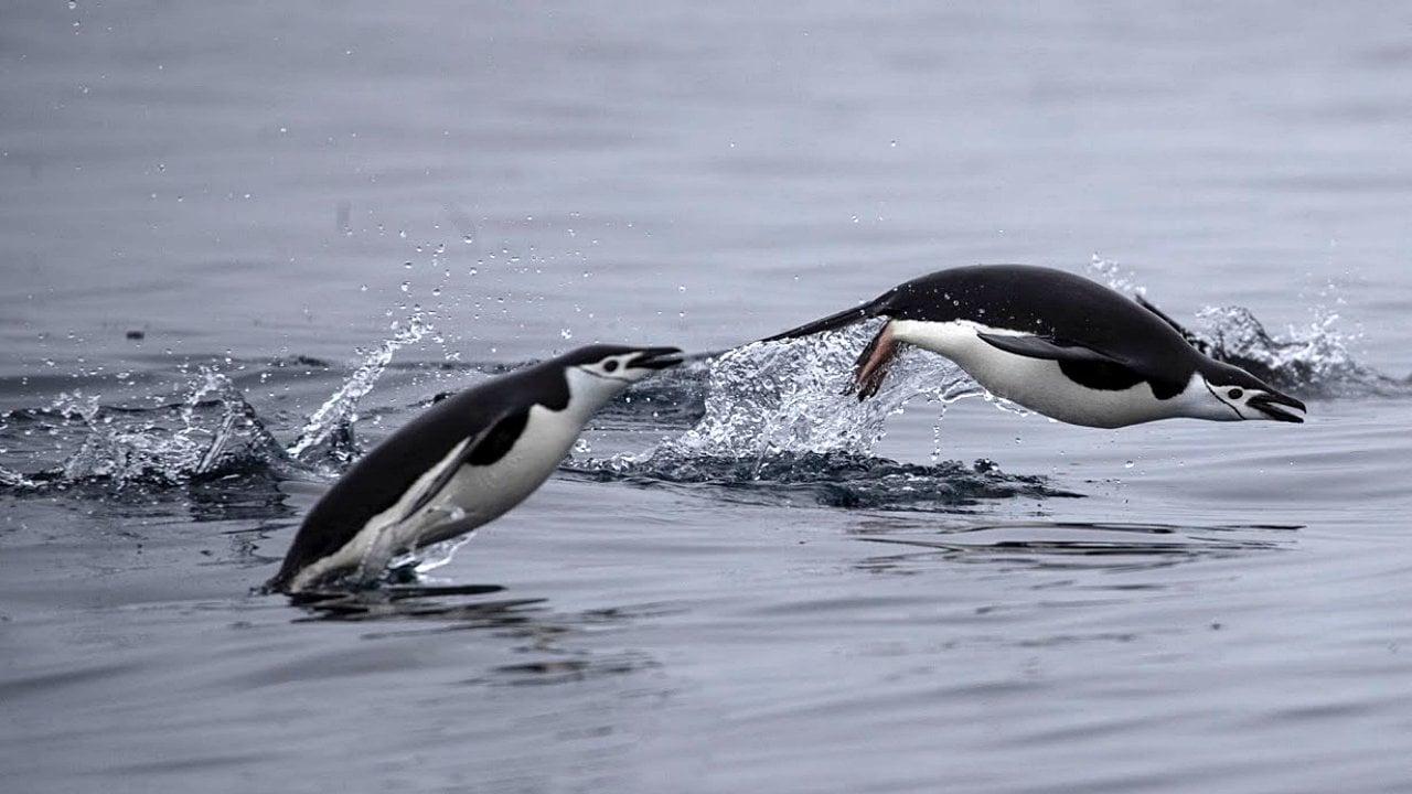 Hallan microplásticos en dieta de pingüinos de la Antártida