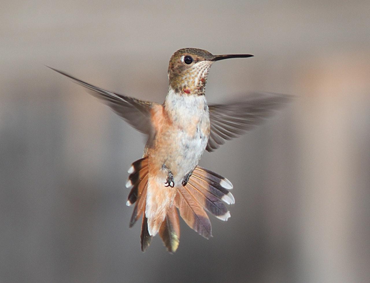 Prevén más jardines urbanos contra la desaparición del colibrí en CDMX