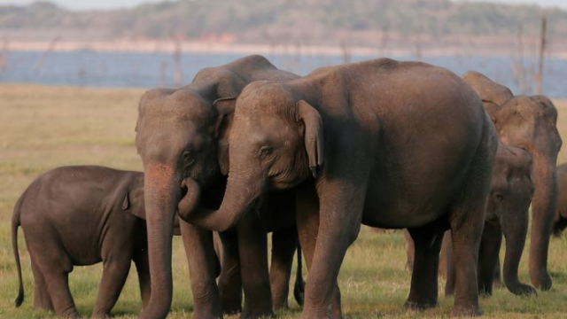 Elefante sumatra