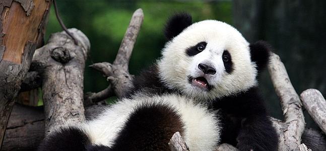 China celebra el nacimiento de dos pandas gemelos