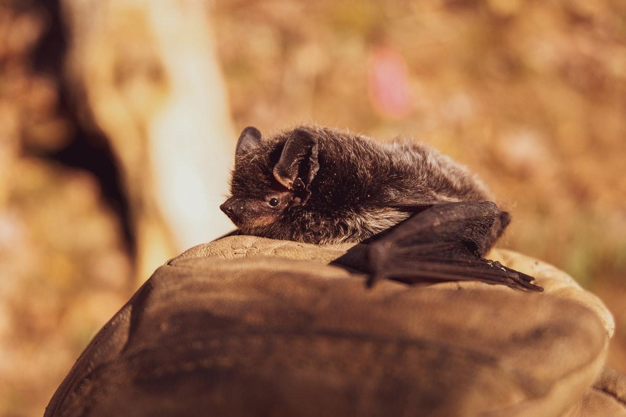 Murciélagos brindan mayores beneficios de los que se piensa: Serfor
