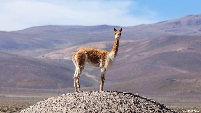 Buenas noticias para la vicuña, fuente de la lana más fina del mundo