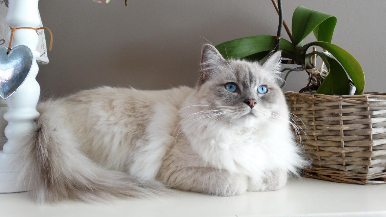 Gatos son susceptibles al Covid-19: se recomienda que permanezcan dentro de su hogar