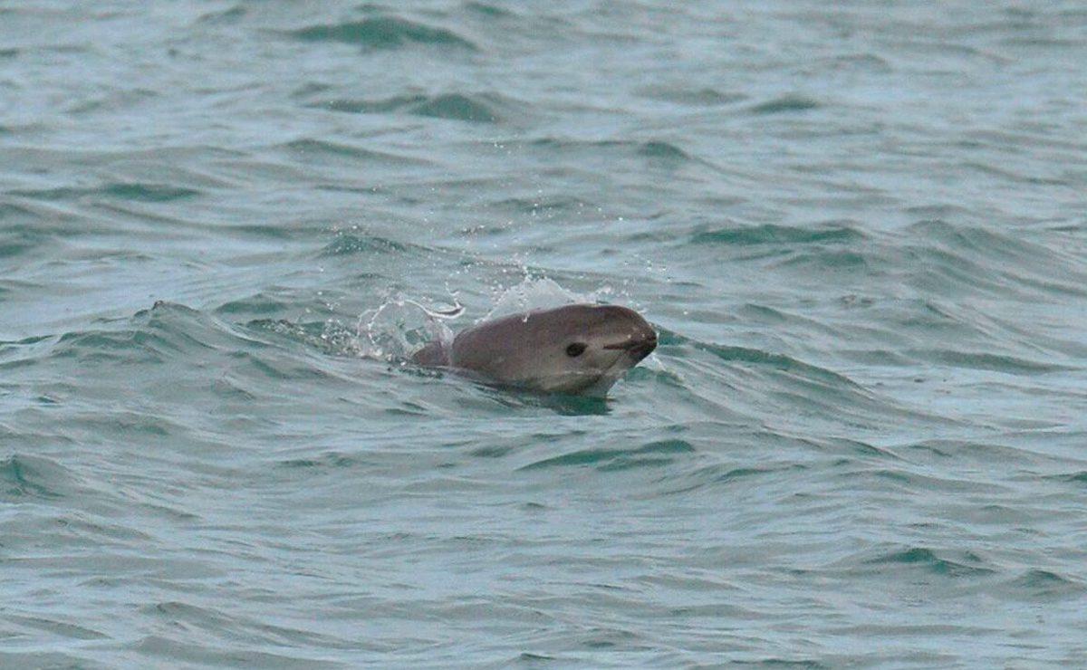 Vaquita marina desaparecerá en 2022, auguran organizaciones
