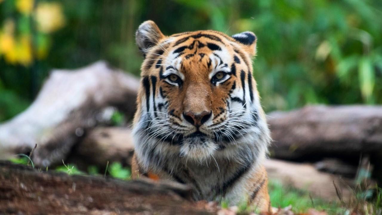 Covid-19 afecta a 5 tigres y 3 leones en zoológico de NY