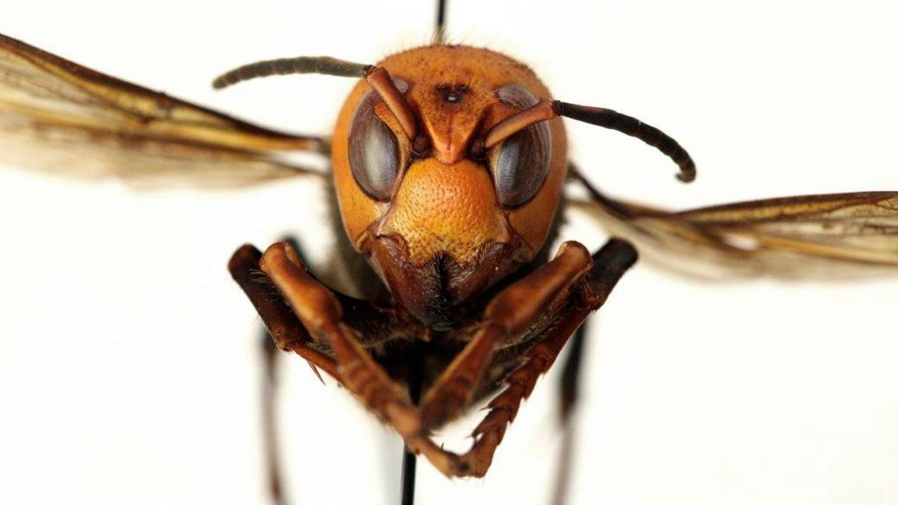 México activa protocolo de vigilancia para prevenir la entrada del avispón gigante
