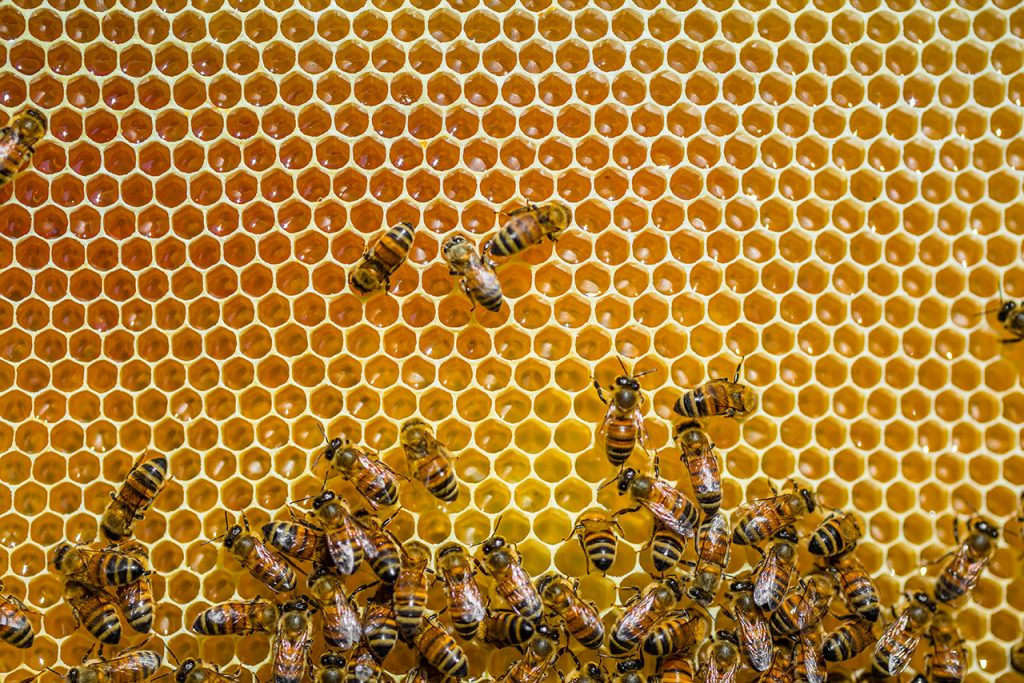 Abejas Close-up of honeybees sitting on honeycombs