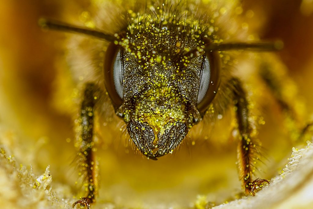 Abejas abeja Red Mason bee (osmia rufa) in nesting tube