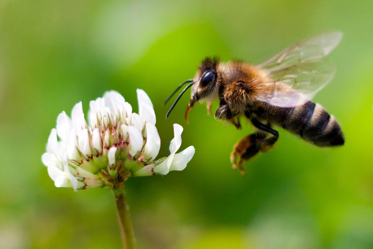 Crean el primer mapa mundial sobre la distribución de las abejas