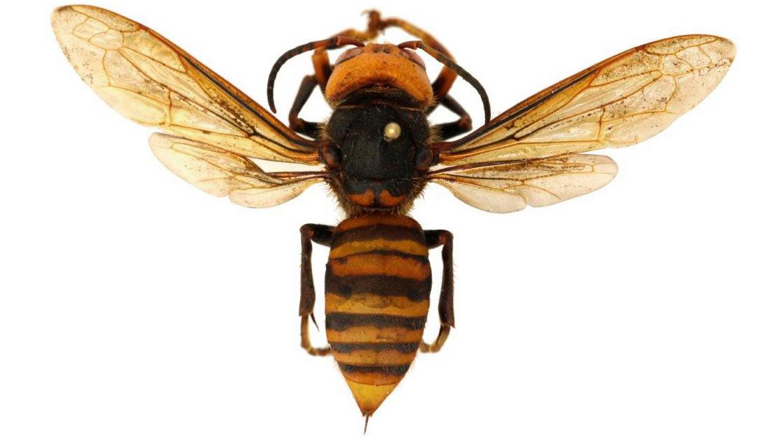 Alarma en EU por aparición de avispones gigantes capaces de matar humanos
