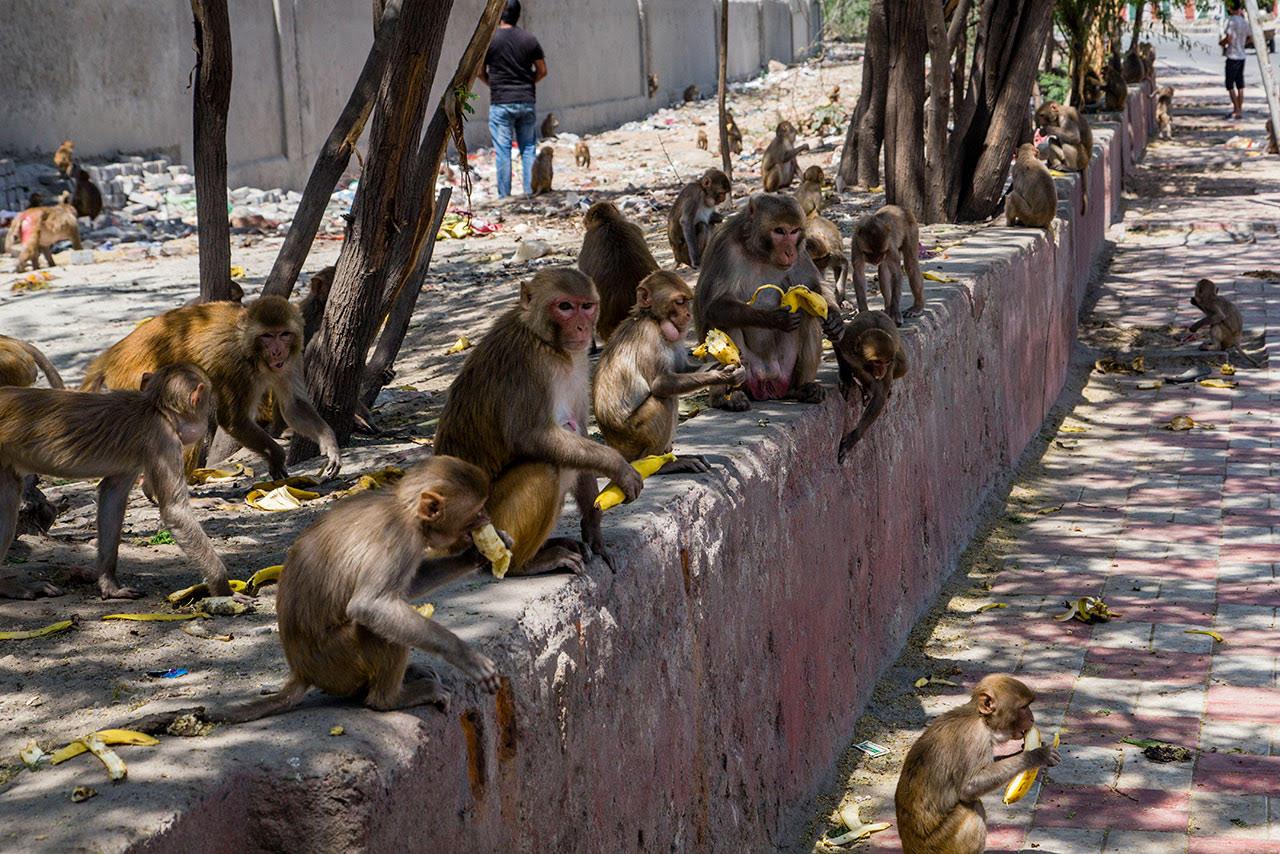 Los monos pueden aprender gramática, revela Harvard
