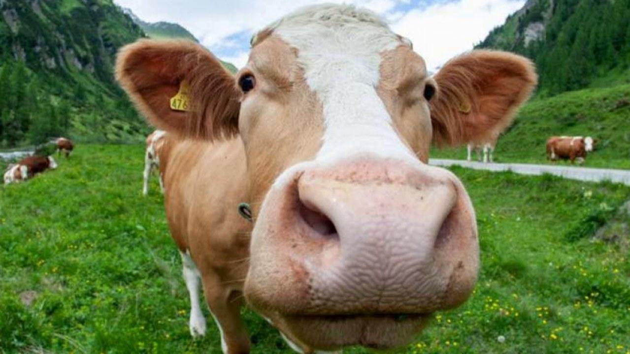 Anticuerpos humanos de vacas genéticamente modificadas neutralizarían el Covid-19: estudio