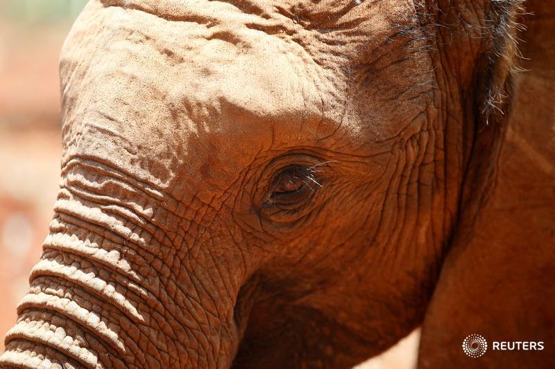 Reportan muerte 'misteriosa' de cientos de elefantes en África