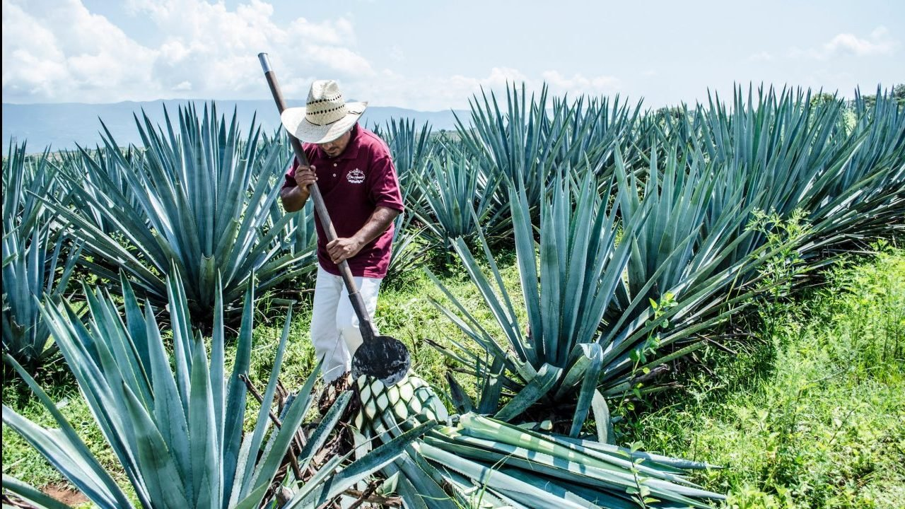 El tequila avanza pese a la pandemia y perfila récords al cierre de año