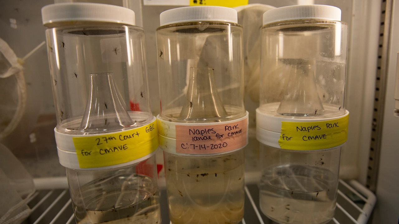 Liberarán 750 millones de mosquitos modificados genéticamente para evitar enfermedades