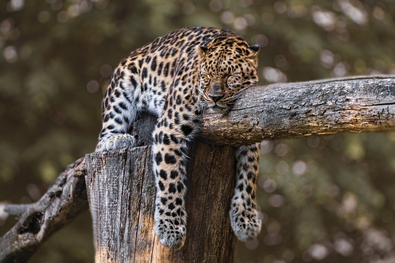 WWF busca salvar al jaguar con el apoyo de Latinoamérica