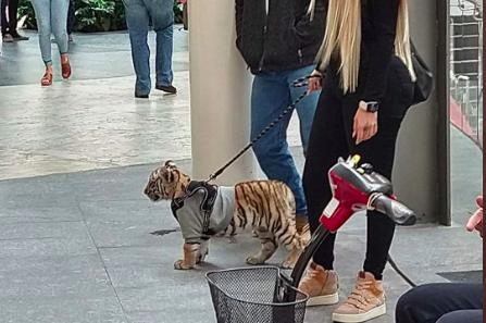 Mujer pasea a cachorro de tigre de Bengala en las calles de Polanco