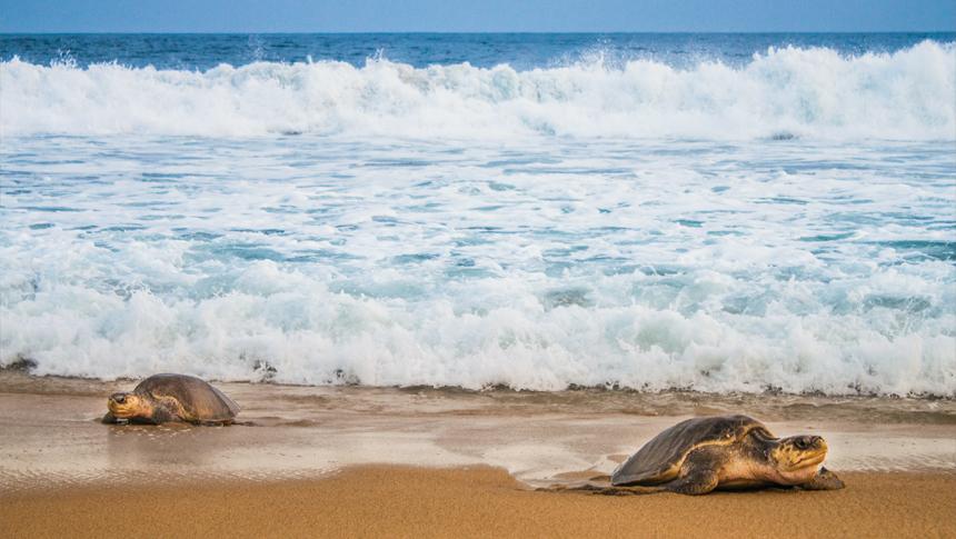 Ambientalistas invocan al TMEC para protección de tortugas marinas