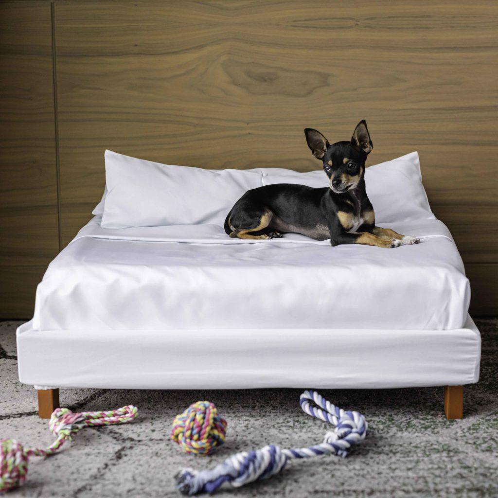 perro chihuahueño negro e cama blanca