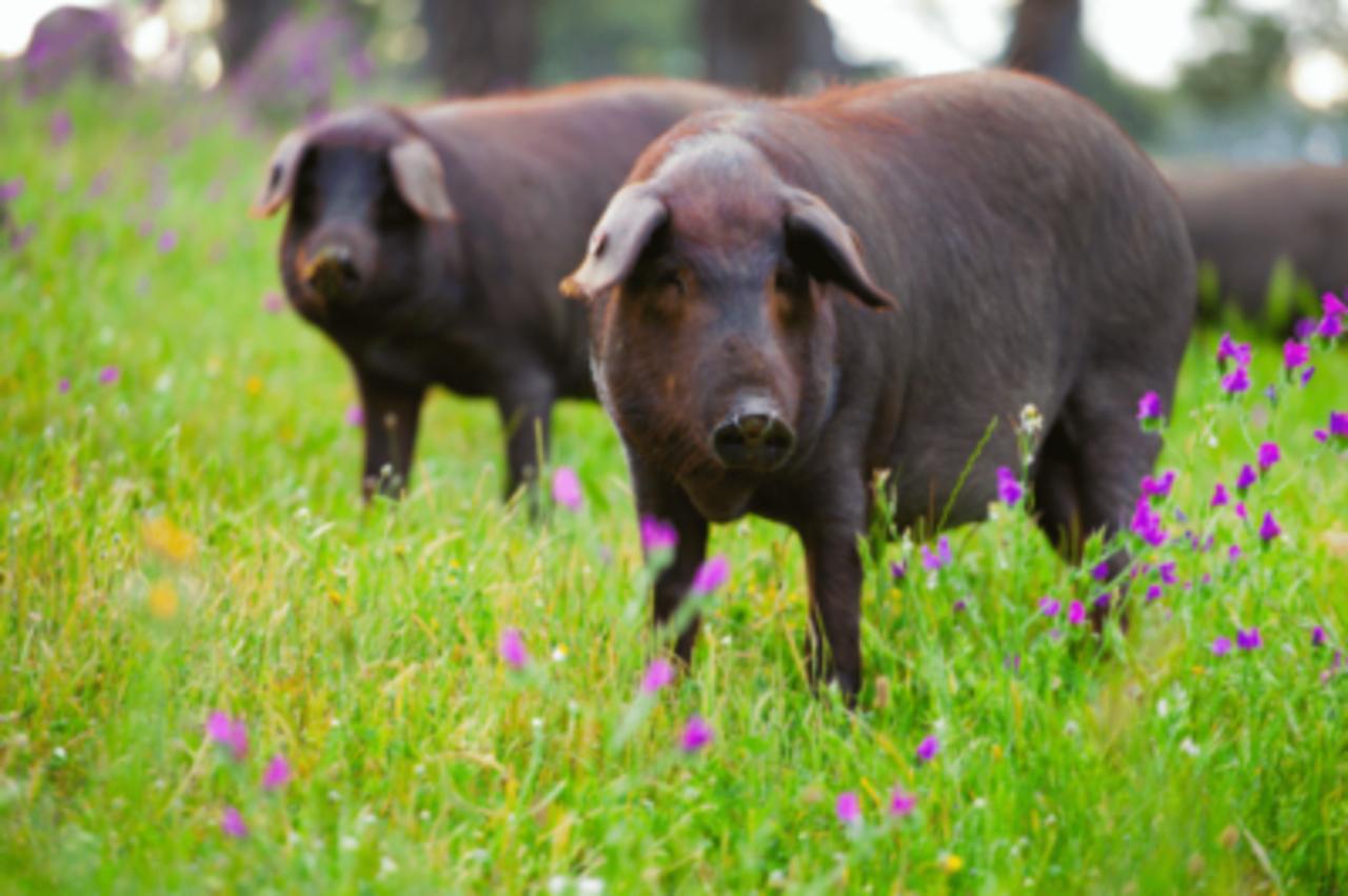 Detectan el primer caso de peste porcina africana en Alemania