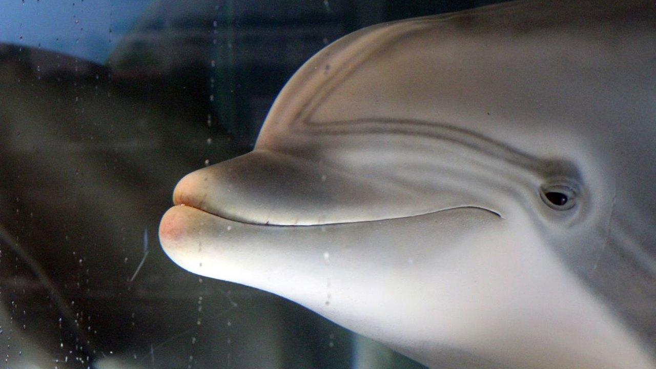 Crean delfín robot que  podría reemplazar animales en cautiverio en parques temáticos