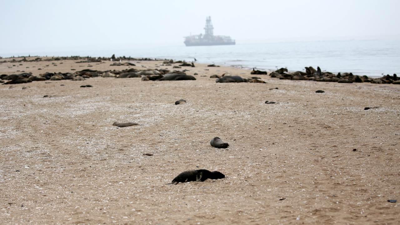 Suman más de 7 mil focas muertas en costa de Namibia