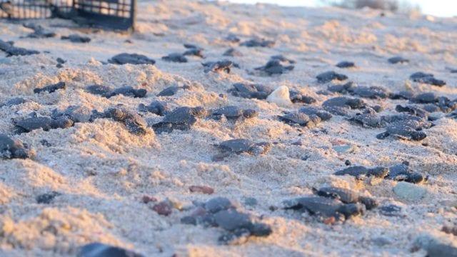 tortugas_eclosión_tortuguero_sonora