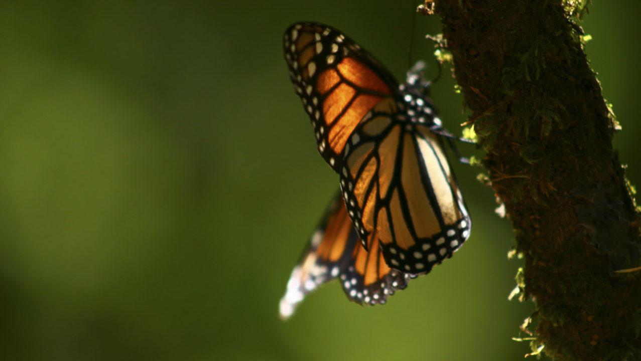 Estos 3 santuarios de la mariposa monarca te están esperando