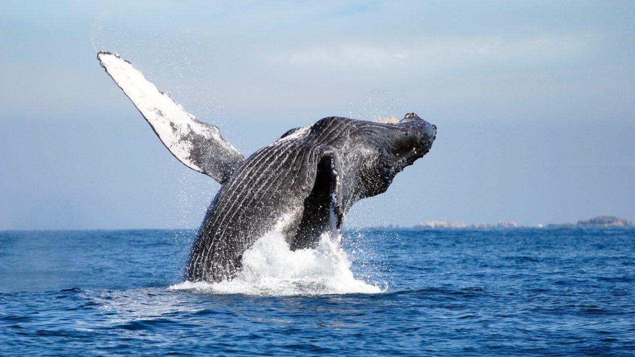 Rusia prohibirá caza de ballenas y delfines; acusa 'exterminio depredador'