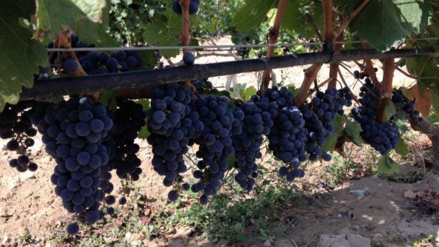 uvas vino nueva Zelanda
