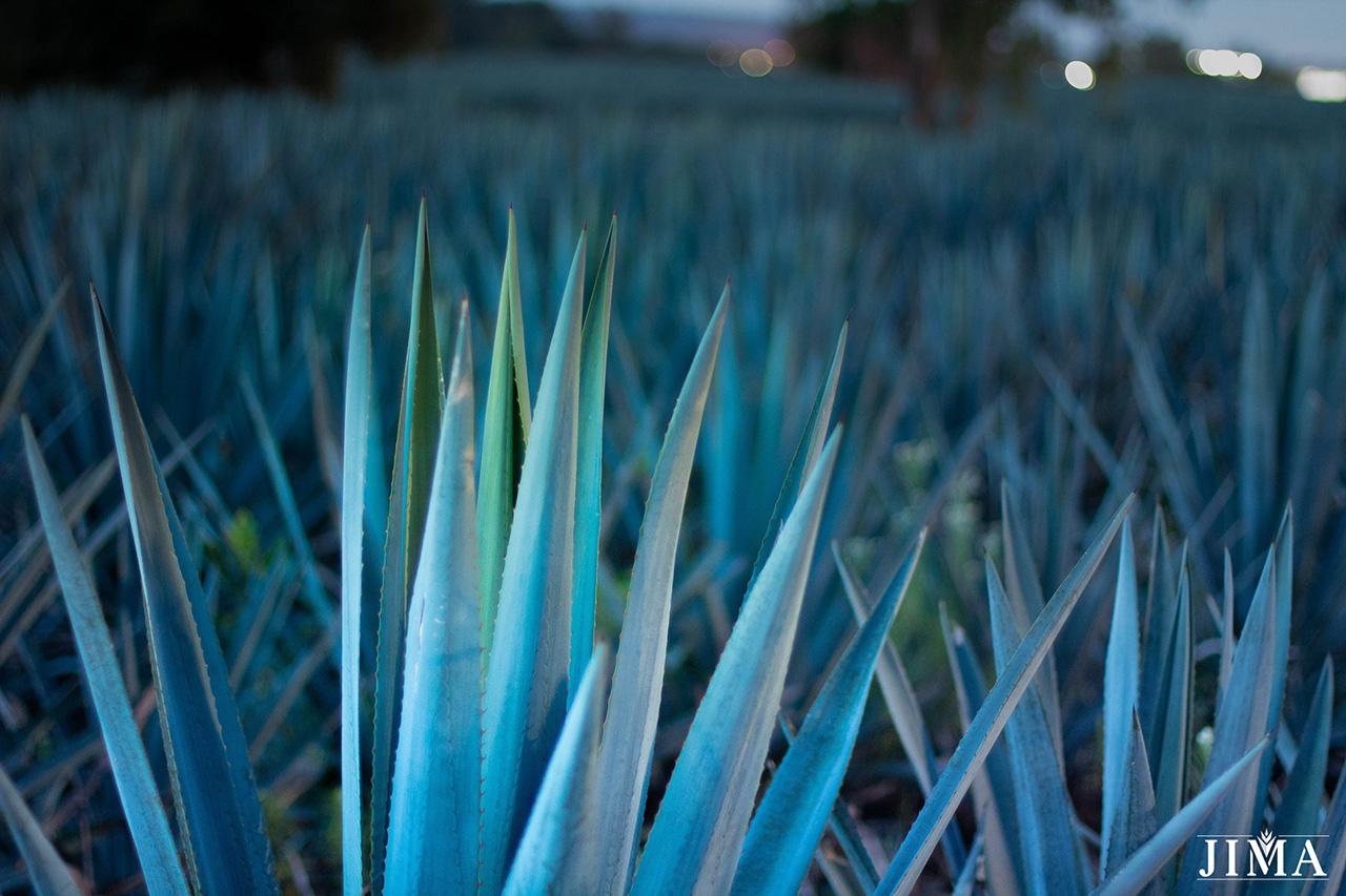 JIMA.MX: la plataforma digital que te permite invertir en agave azul