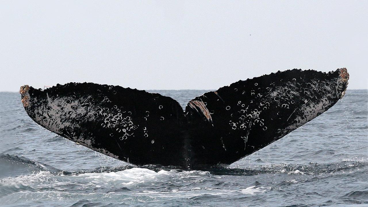 Fotoidentificación: la clave para el cuidado de las ballenas en México