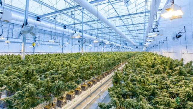 Marihuana-producción