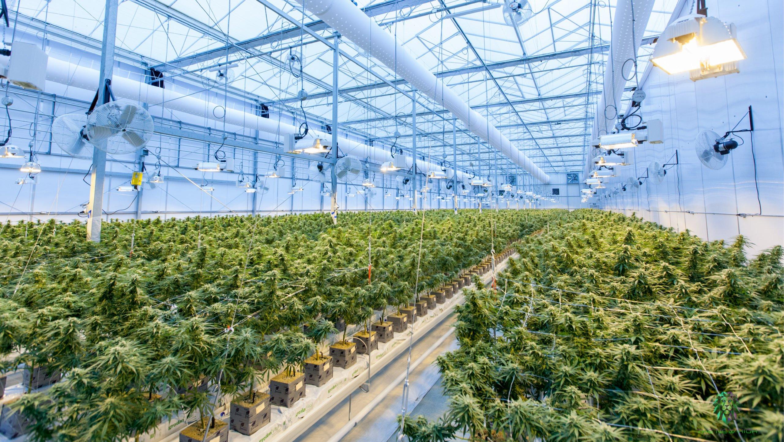 Industria ve gran potencial en el cannabis, ante su inminente legalización en México