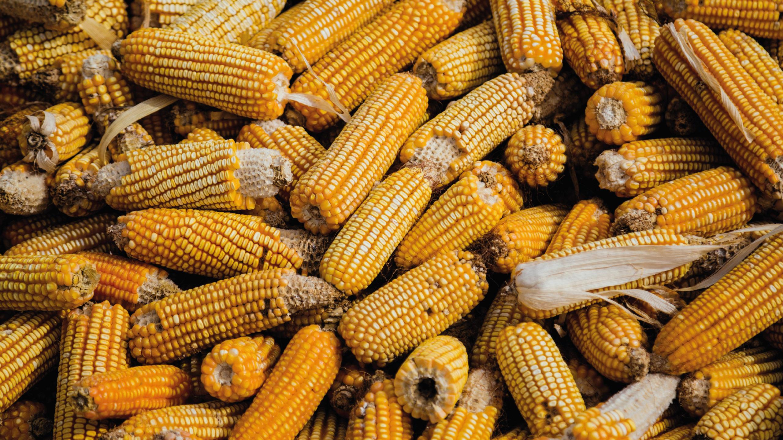 México incumplirá meta producción maíz para 2021