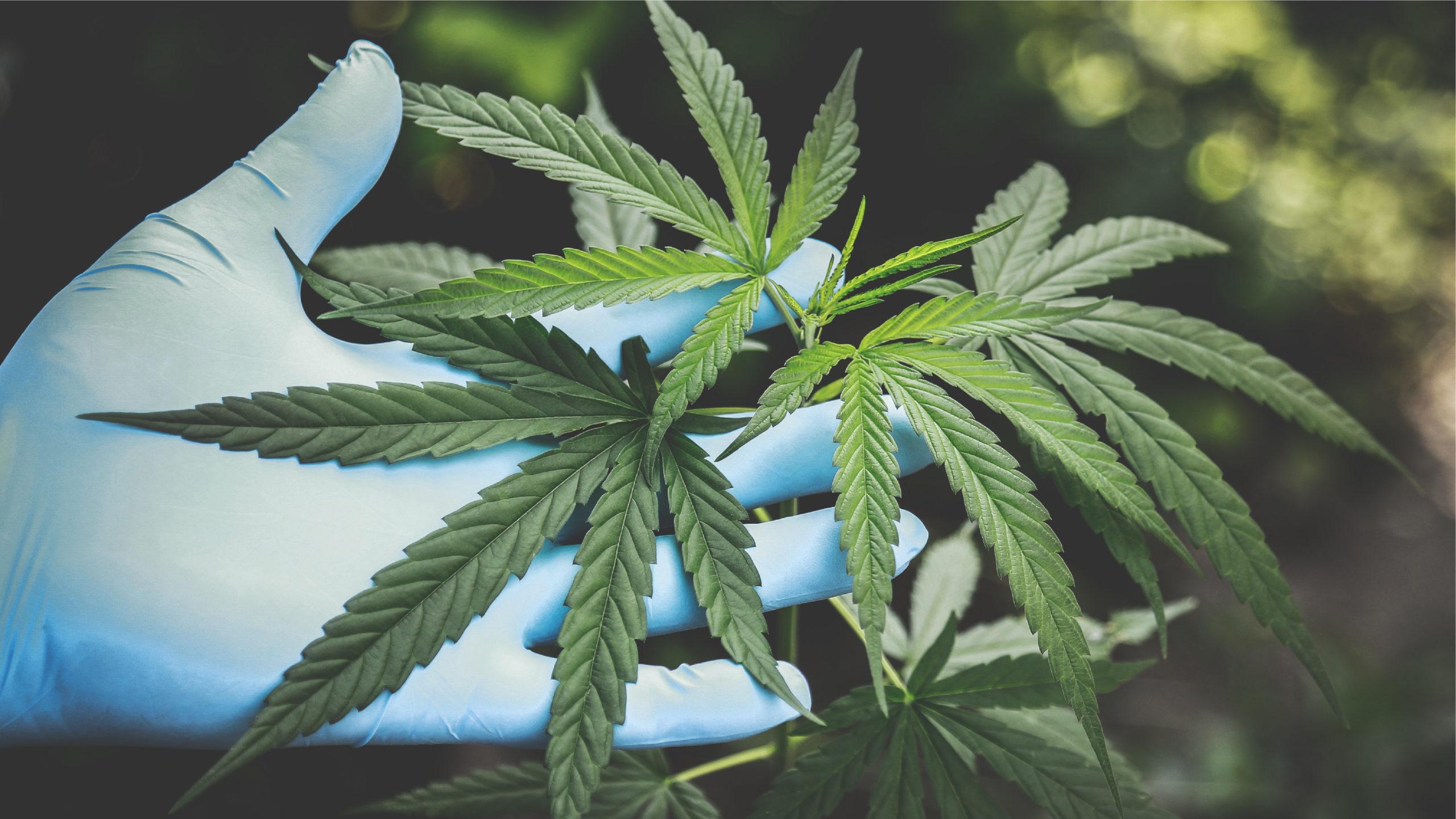 Empresas de marihuana, ávidas por entrar en México apenas se legalice: Vicente Fox