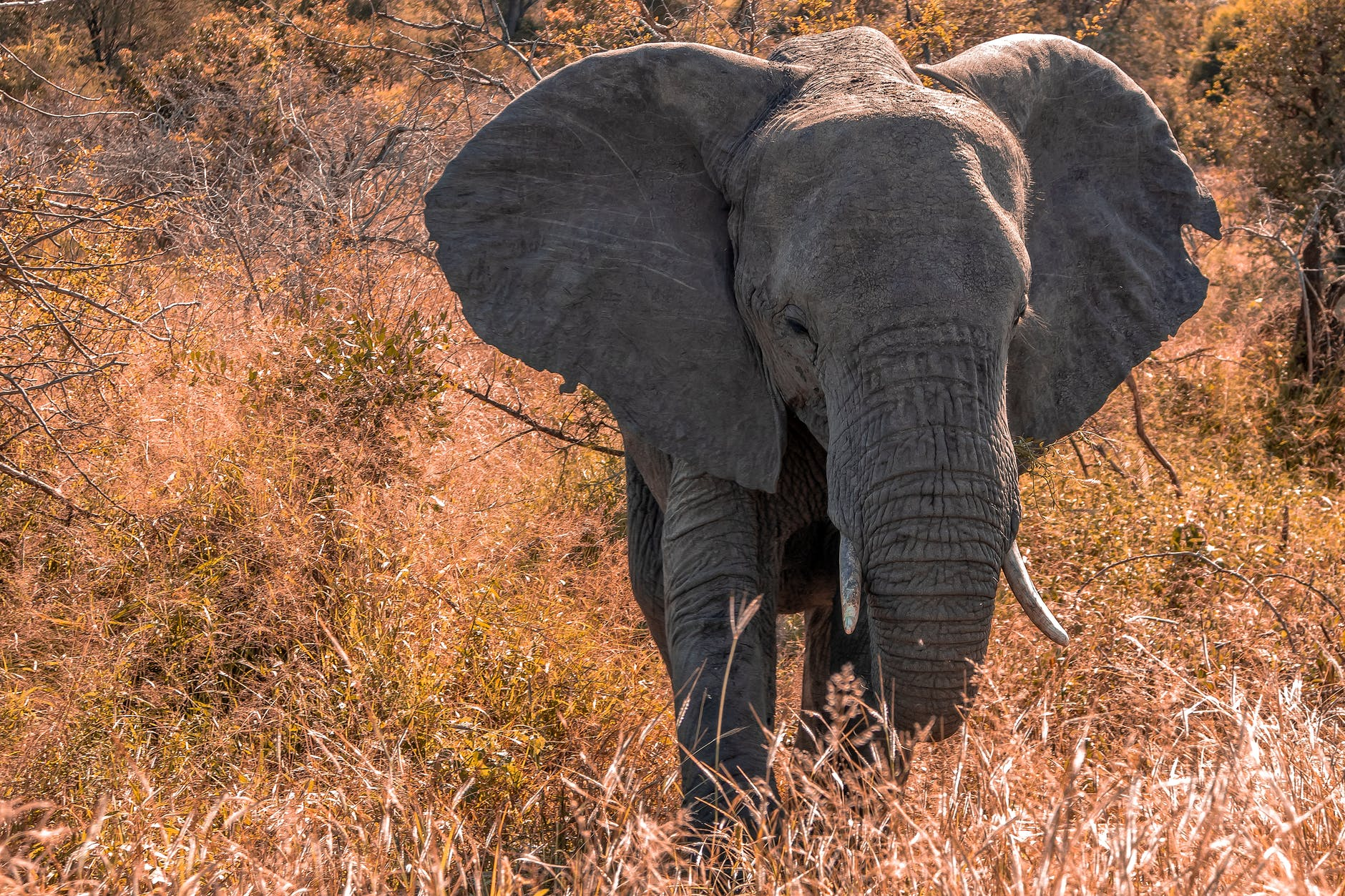 Muere cazador furtivo pisoteado por elefantes al huir de guardabosques
