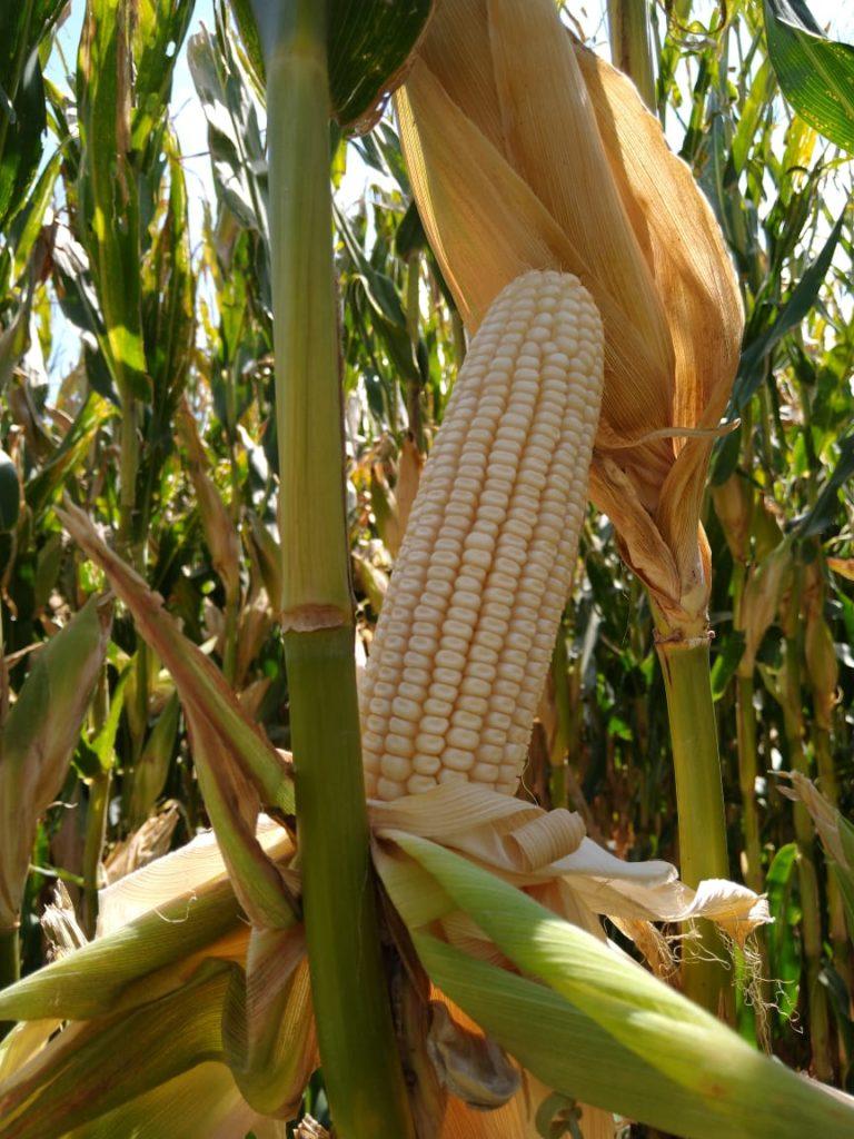 Producción de maíz. Grupo Bimbo.