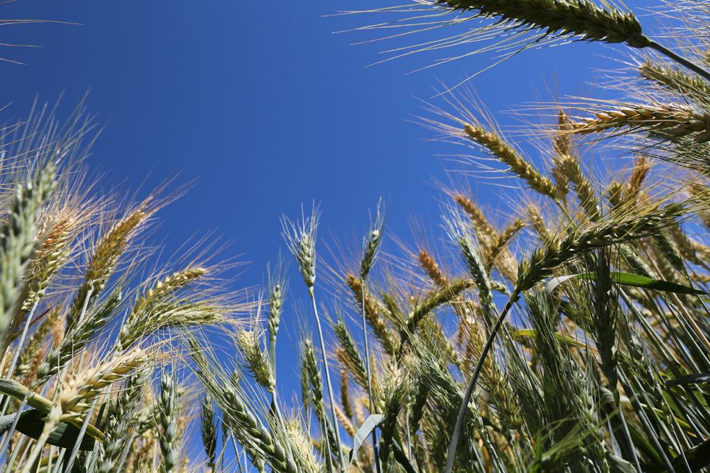 Producción de trigo. Grupo Bimbo.