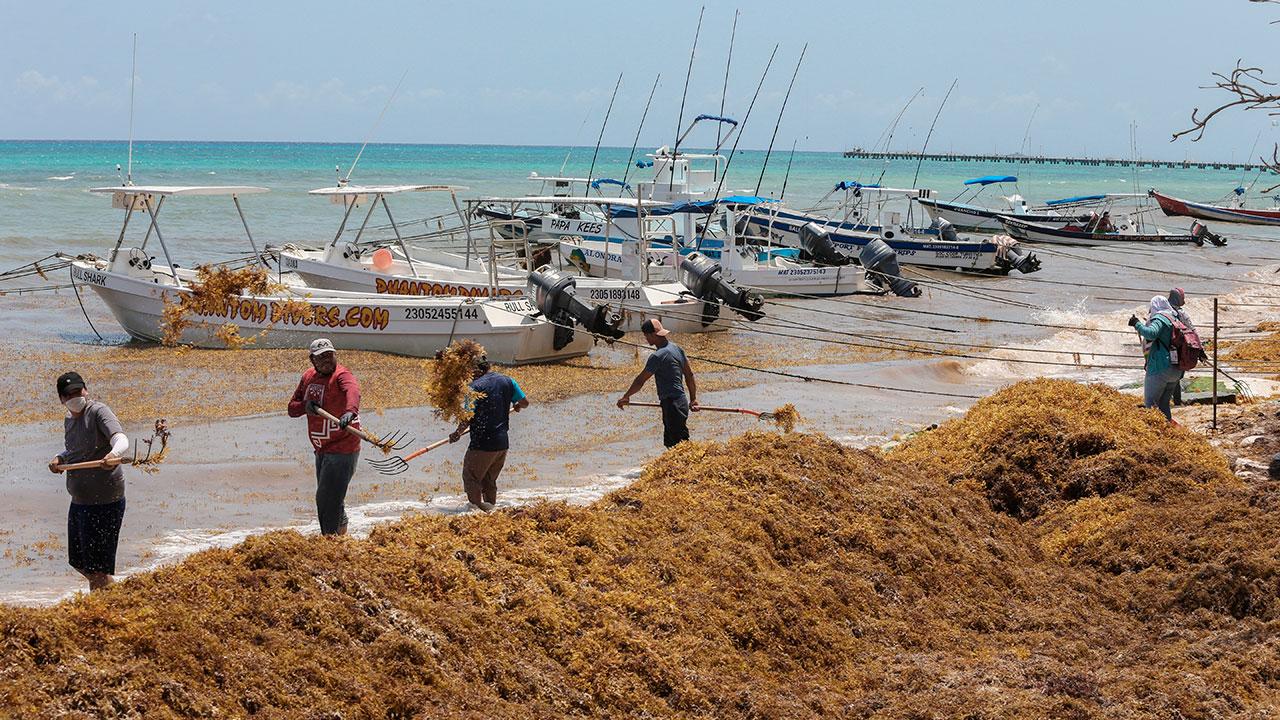Fotogalería: Comienza la llegada masiva de sargazo a  Quintana Roo
