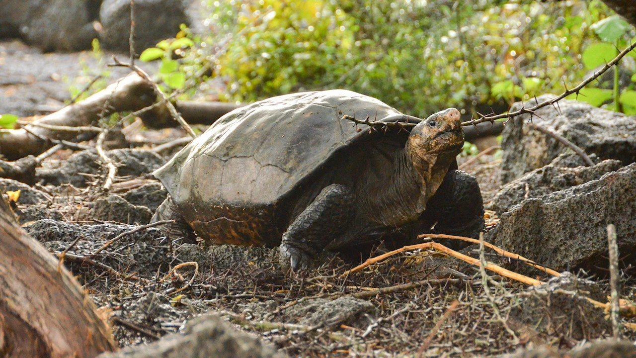 Encuentran tortuga en Galápagos que se creía extinta hace 100 años