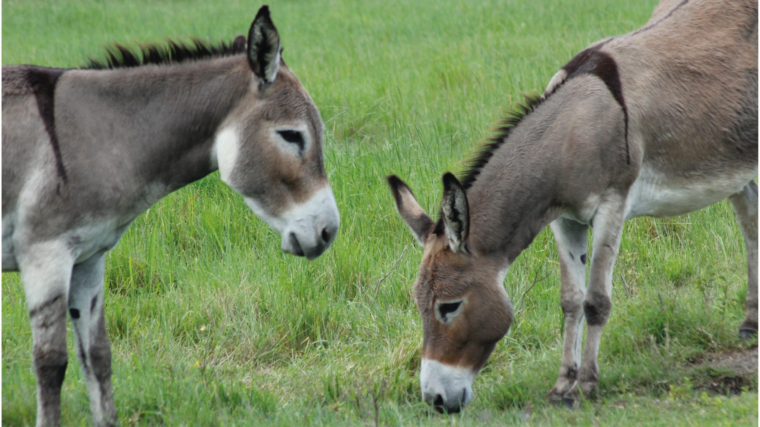 Bolivia desarrolla suero anticovid con plasma de burros
