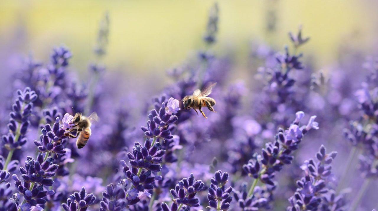 Ausencia de abejas provocaría crisis en producción de alimentos