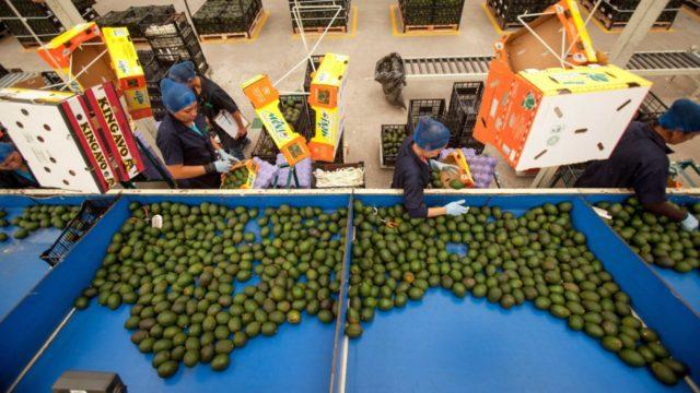 La balanza comercial agroalimentaria de México registró un superávit de 4,857 millones de dólares en la primera mitad de 2021, el tercer saldo positivo más alto en 27 años, informó este lunes la Secretaría de Agricultura y Desarrollo Rural (Sader).