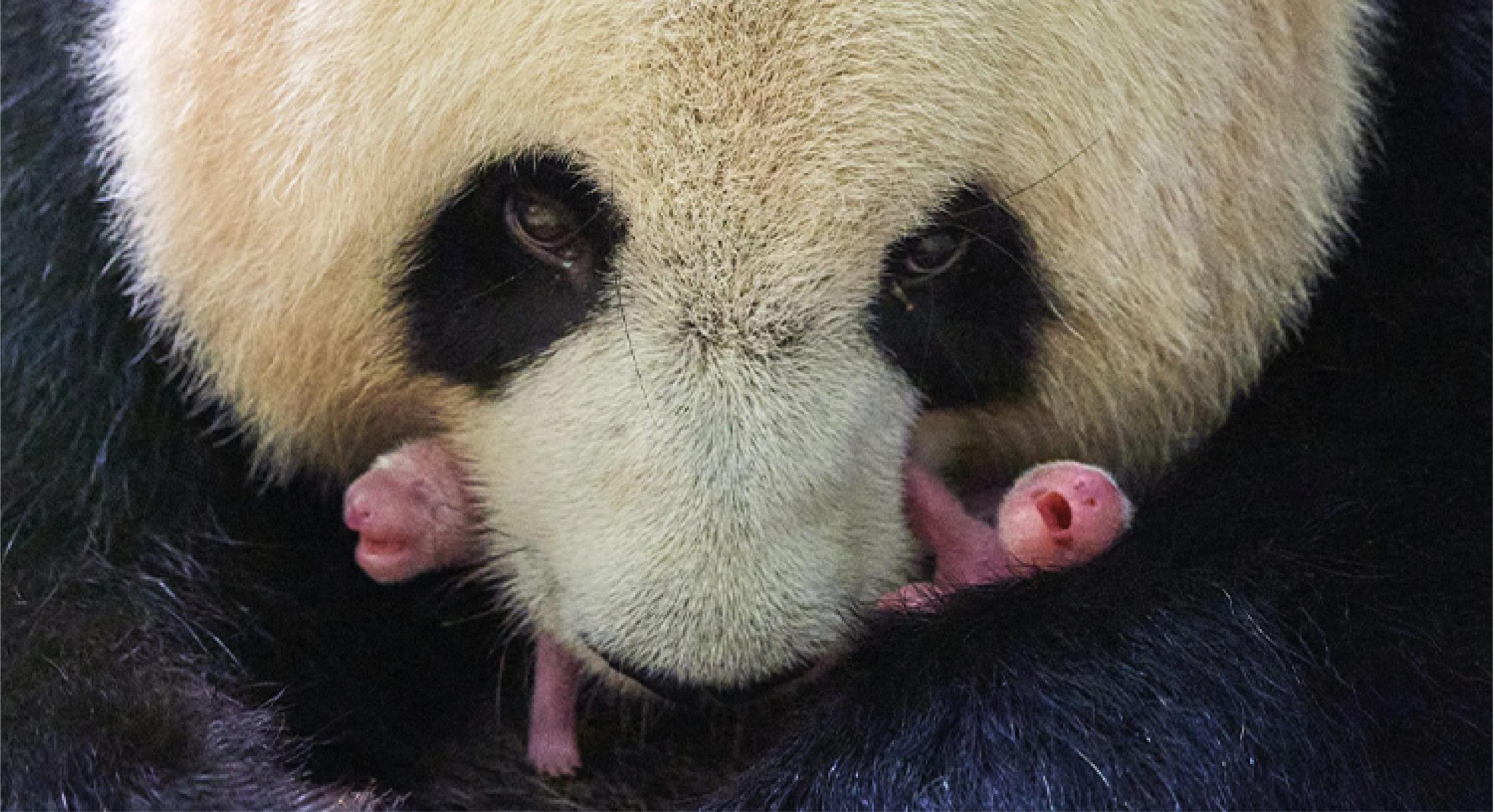 Nacen dos pandas gigantes en zoológico de Francia